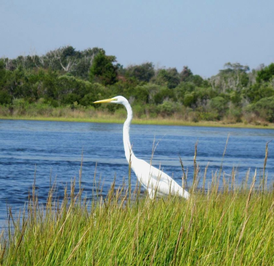 Heron in the marsh | photo courtesy of TownofSurfCity.com